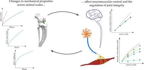 Changes in mechanical properties across animal scales affect neuromuscular control and the regulation of joint integrity